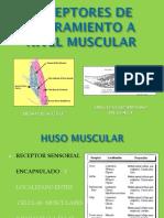 Receptores de Estiramiento a Nivel Muscular