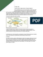 Fisostomos y Flsoclisto