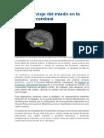 El Rápido Viaje Del Miedo en La Amígdala Cerebral