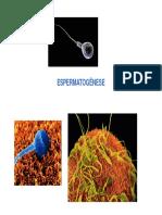 1-Espermatogenese