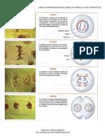 Cnaturales Mitosis Celular