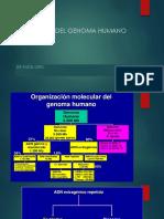 Estructura Del Genoma Humano