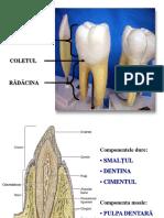 Dezvoltarea Dintilor Smalt Dentina