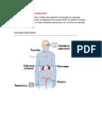 Qué Es El Sistema Endocrino