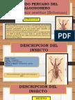 358016504-Picudo-Peruano-Del-Algodonero.pptx