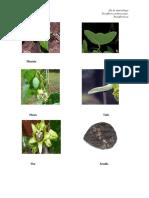 passiflora malezas