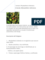 Phytopthora en Tomate
