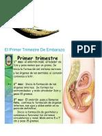 El Primer Trimestre de Embarazo