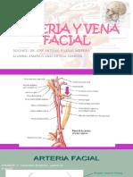 Arteria y Vena Facial