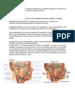 Glandula Salivales Chisuco 1