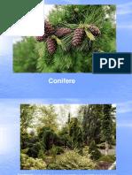 Conifere ppt