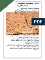 ثعبان أبو العيون . Malpolon Moilensis الحُفَّاث أو الحية العربية