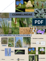 Commelinidae