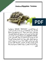 Egyptian Tortoise السلحفاة المصرية