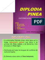 diplodia-pinea1