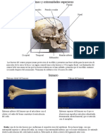 Cráneo y Extremidades Superiores