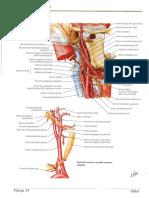 Arterele Carotide
