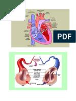 gambar jantung
