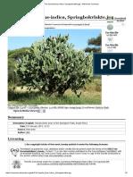 File_Opuntia Ficus-Indica, Springbokvlakte