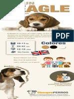 Infografía sobre el perro Beagle