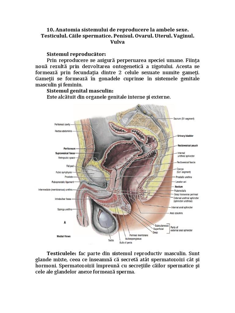 penisul levator