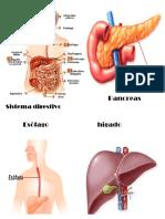 Pancreas Sistema Digestivo