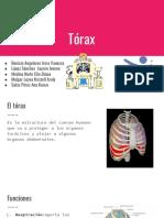 anato torax