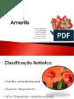 Amarilis Cultivo