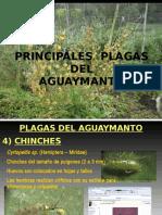 Principales Plagas Del Aguaymanto
