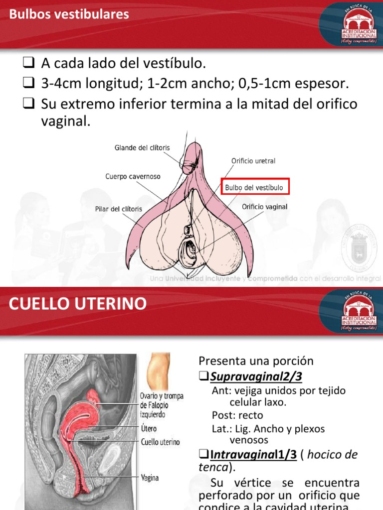 Encantador Uterina Cavidad Anatomía Regalo - Imágenes de Anatomía ...