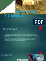 Epididimiti Ovina y Caprina