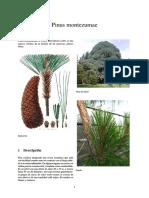 Pinus Montezumae