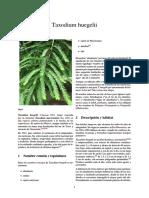 Taxodium Huegelii