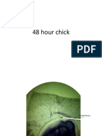 48 Hour Chick Labelled