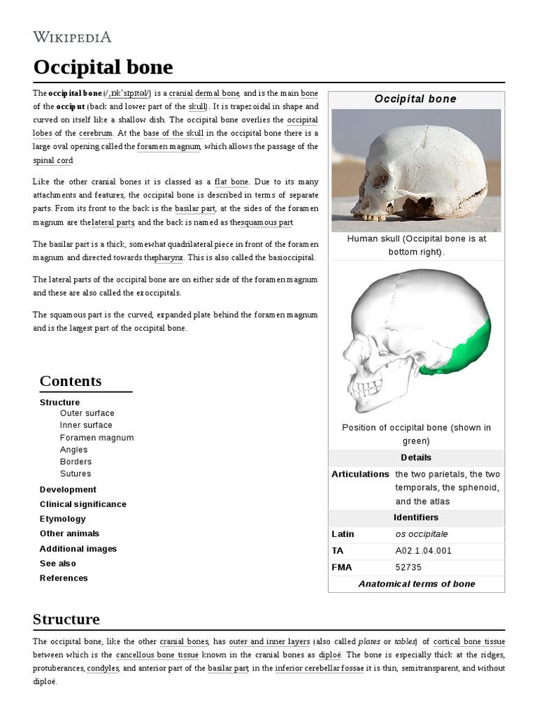 Occipital Bone   Anatomy   Primate Anatomy