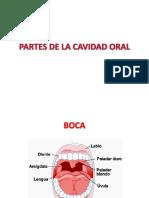 Partes de La Cavidad Oral