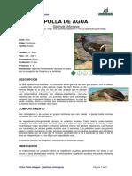 Ficha POLLA de AGUA_Gallinula Chloropus