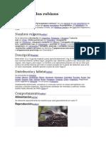 Pyrocephalus rubinus