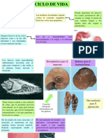 Ciclo de Vida Esquistosomiasis