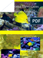 Carlos Michel Fumero - Zebrasoma Flavescens o Cirujano Amarillo