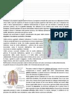 Anatomia Del Torace