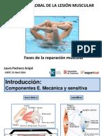 55 fases de la reparació muscular L Pacheco