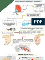 Desarrollo Embriológico de Cráneo y Cara. Odontogenésis.