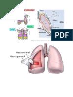 Anatomi Pleura