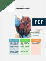 Guia Anatomia Cardio (1) (1) (1)