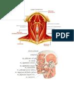 El Músculo Del Cuello y Cara