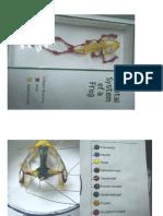 Frog Skeletal 2