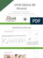 Revisión Anatomía Básica de Anuros