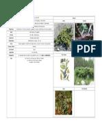 Juniperus Communis Alpina