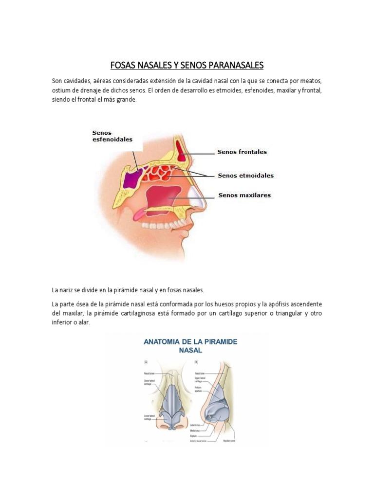 Anatomía y fisiologia de Otorrinolaringología